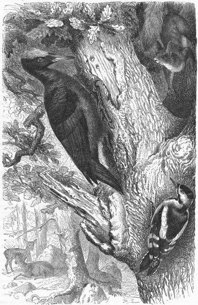 Associate Product SEARCHER. Tree Climber. European Black Woodpecker c1870 old antique print