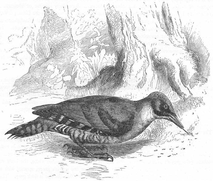 BIRDS. Searcher. Tree Climber. Green Woodpecker c1870 old antique print