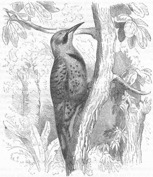 Associate Product SEARCHER. Tree Climber. Golden-winged Woodpecker c1870 antique print