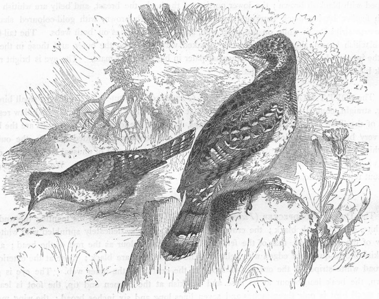 Associate Product BIRDS. Searcher. Tree Climber. Wry-neck c1870 old antique print picture