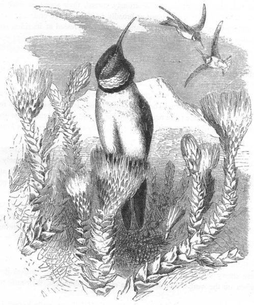 Associate Product BIRDS. Searcher. Hummingbird. Chimborazian Hill-star c1870 old antique print