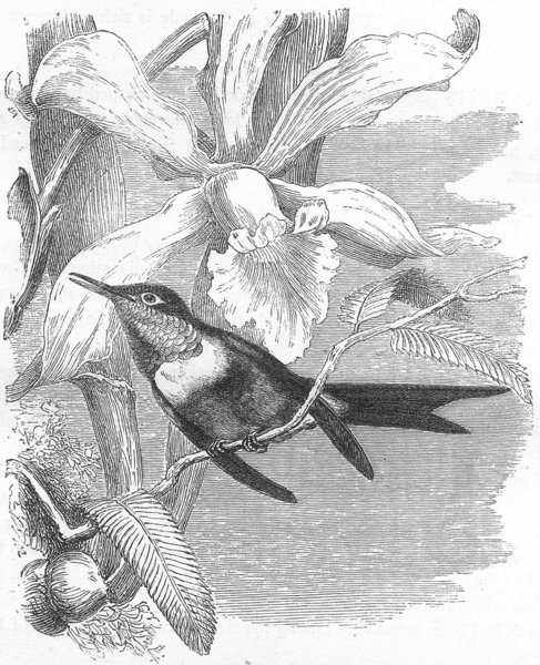 Associate Product BIRDS. Searcher. Hummingbird. Amethyst c1870 old antique vintage print picture