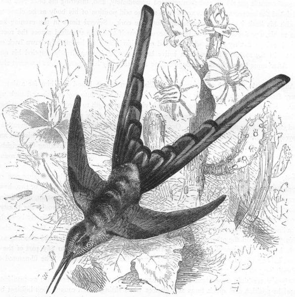 BIRDS. Searcher. Hummingbird. Sappho Comet c1870 old antique print picture
