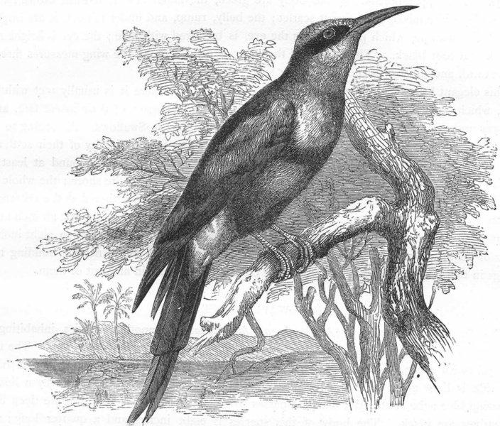 Associate Product BIRDS. Searcher. Light-Beak. Bee-Wolf c1870 old antique vintage print picture