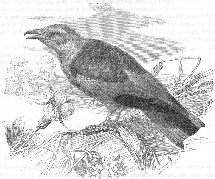 Associate Product BIRDS. Searcher. Light-Beak. Blue Roller c1870 old antique print picture
