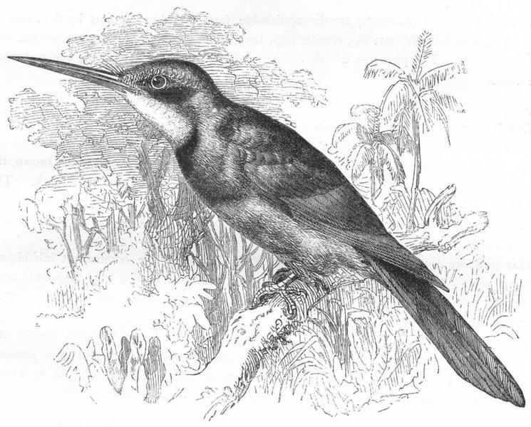 Associate Product BIRDS. Searcher. Alcyons. Green Jacamar c1870 old antique print picture