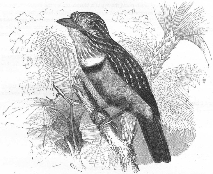 Associate Product SEARCHERS. Bucco. Dusky Trappist, Bearded Cuckoo c1870 old antique print