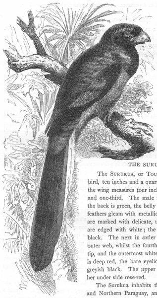 Associate Product BIRDS. Searcher. Bucco. Narina c1870 old antique vintage print picture