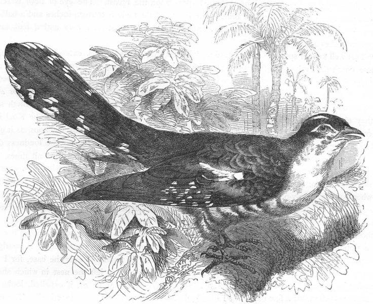 BIRDS. Searcher. Cuckoo. Didrik, Golden c1870 antique print picture