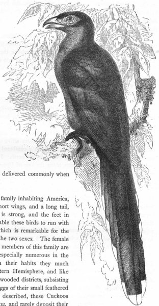 Associate Product BIRDS. Searcher. Cuckoo. Kokil, Green-Billed Malkoha c1870 old antique print