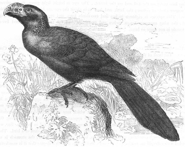 Associate Product BIRDS. Searcher. Cuckoo. Ani, Savanna Blackbird c1870 old antique print