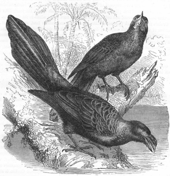 Associate Product BIRDS. Searcher. Cuckoo. Wrinkled-beaked Tick-eater c1870 old antique print