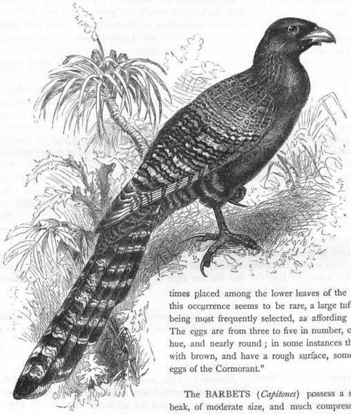 Associate Product BIRDS. Searcher. Cuckoo. Pheasant Coucal c1870 old antique print picture