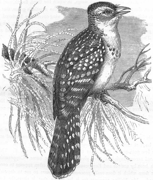 Associate Product BIRDS. Searcher. Cuckoo. Pearl Bird c1870 old antique vintage print picture