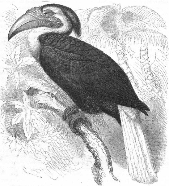 Associate Product BIRDS. Searcher. Hornbill. Djolan, Year Bird c1870 old antique print picture