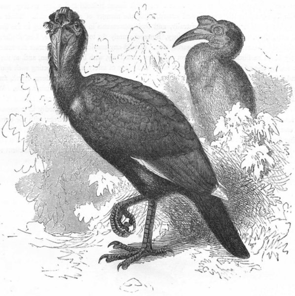 Associate Product BIRDS. Searcher. Hornbill. Abbagamba, Abyssinian c1870 old antique print
