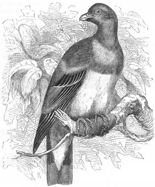 Associate Product GALLINACEOUS BIRDS. Parrot c1870 old antique vintage print picture