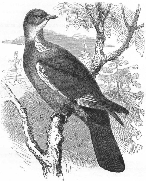 GALLINACEOUS BIRDS. Ring-Dove, Wood c1870 old antique vintage print picture