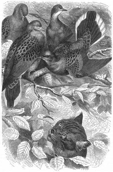 Associate Product GALLINACEOUS BIRDS. Turtle Doves c1870 old antique vintage print picture