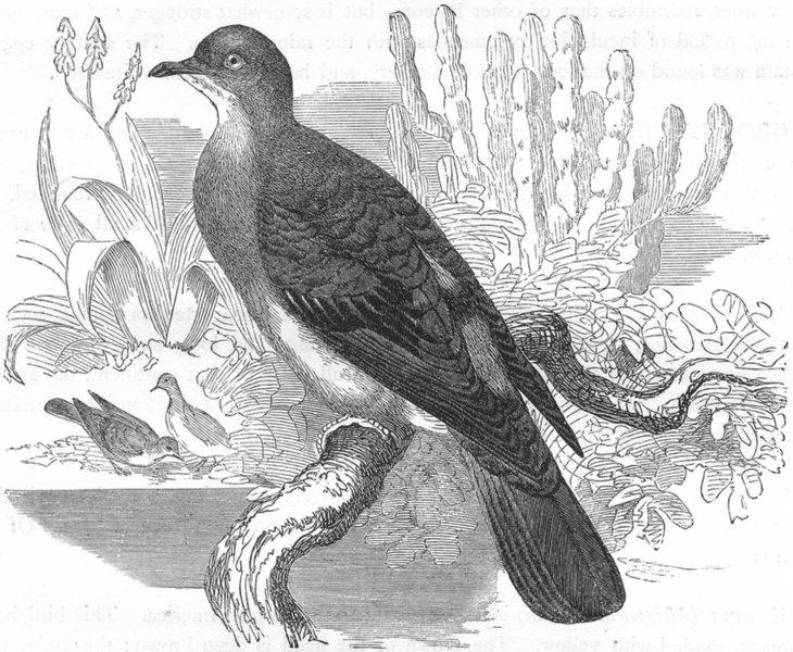 Associate Product GALLINACEOUS BIRDS. Pigeon. Dwarf c1870 old antique vintage print picture