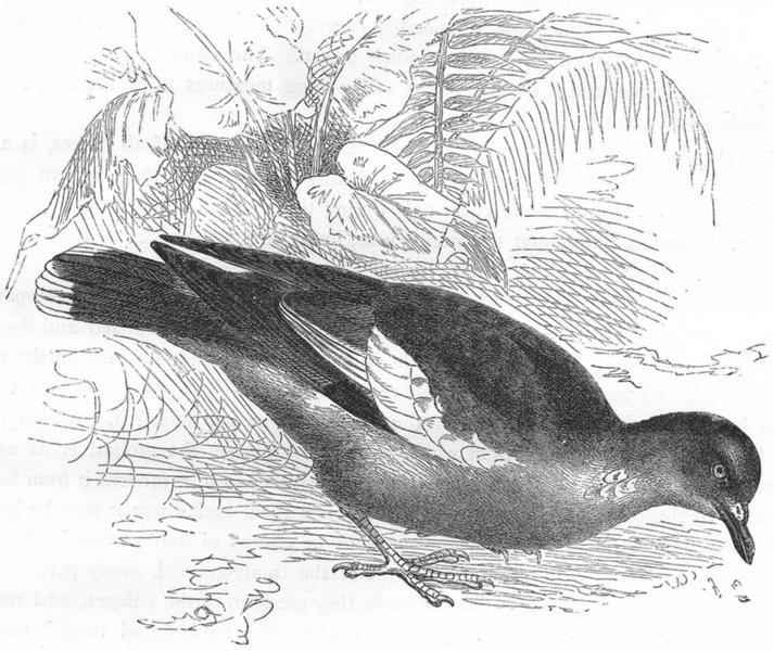 Associate Product GALLINACEOUS BIRDS. Kukuli c1870 old antique vintage print picture