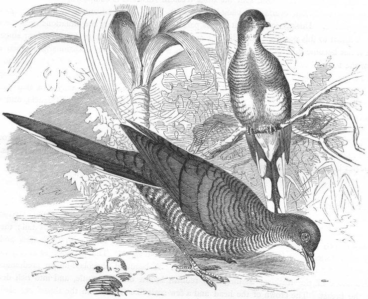 Associate Product BIRDS. Gallinaceous Pigeon. Striped Sparrow-hawk c1870 old antique print