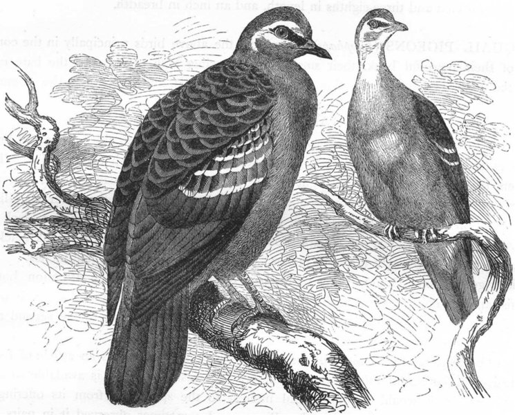 Associate Product GALLINACEOUS BIRDS. Pigeon. Bronze-winged c1870 old antique print picture