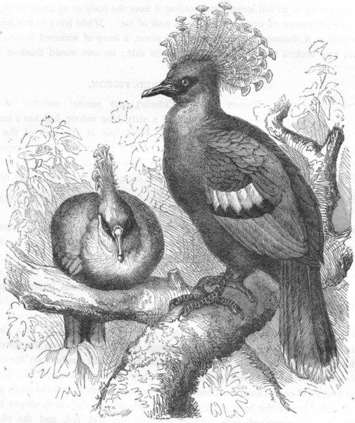 Associate Product BIRDS. Gallinaceous Quail Pigeon. Victoria Crowned c1870 old antique print