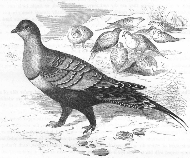 Associate Product GROUSE. Gallinaceous Bird. True. Common Sand c1870 old antique print picture