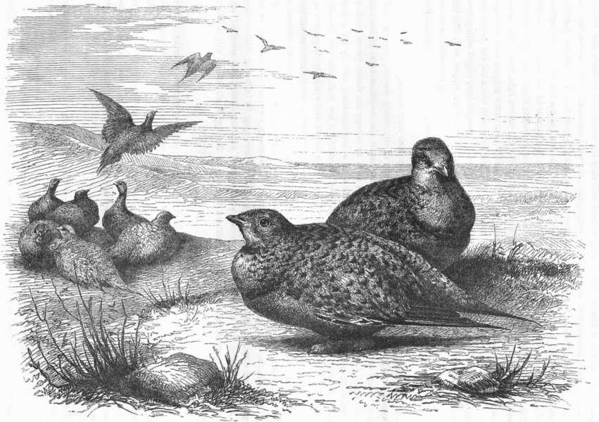 GROUSE. Gallinaceous True Pallass Sand, Steppes c1870 old antique print