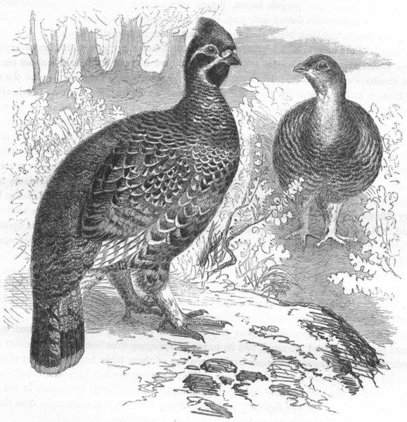 Associate Product GROUSE. Gallinaceous Bird. True. Hazel c1870 old antique vintage print picture