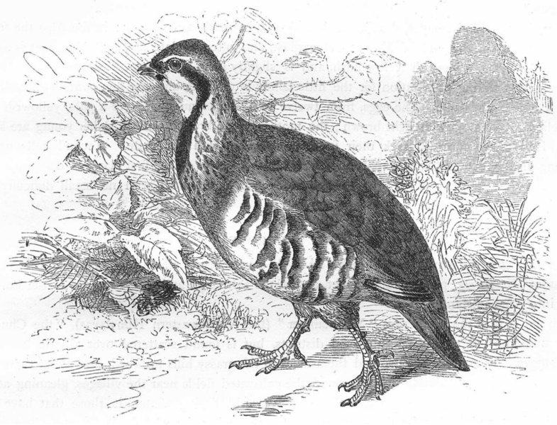 Associate Product BIRDS. Gallinaceous Bird. Partridge. Red-legged c1870 old antique print