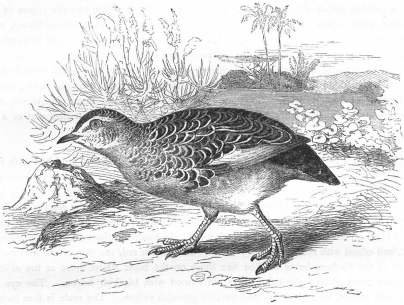 GALLINACEOUS BIRDS. Partridge. African Bush Quail c1870 old antique print