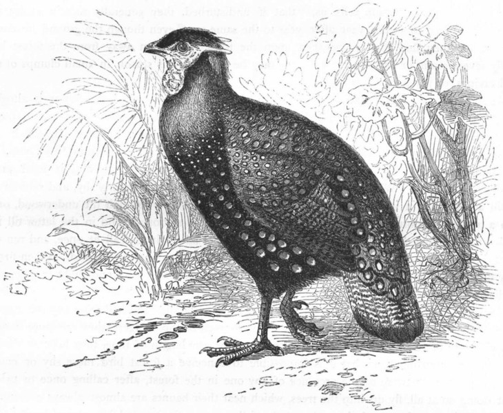 Associate Product SIKKIM. Gallinaceous Phasianidae. Horned Pheasant c1870 old antique print