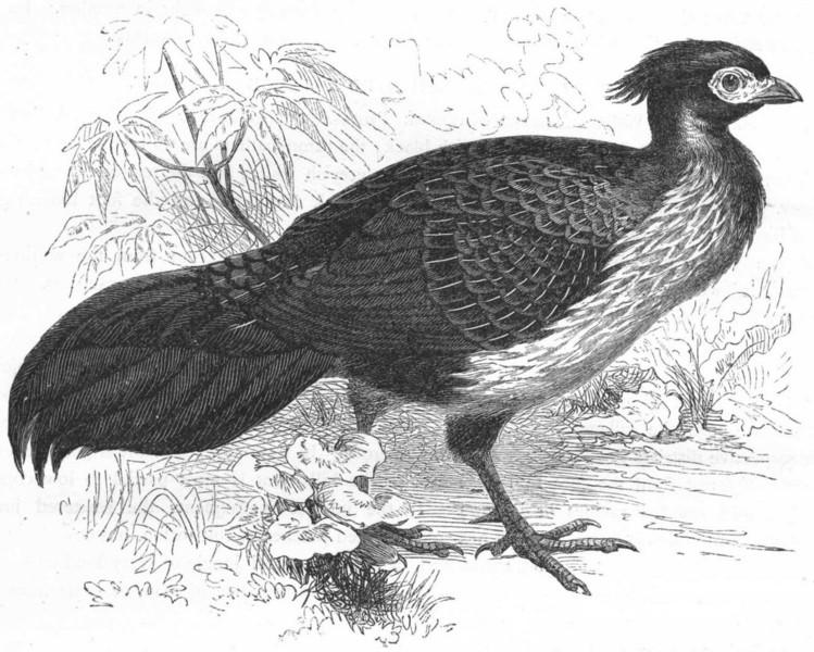 Associate Product GALLINACEOUS PHASIANIDAE. Kaleege, Black Pheasant c1870 old antique print