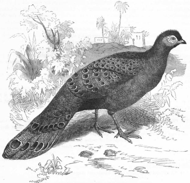 Associate Product PHASIANIDAE. Chinquis, Assam Peacock Pheasant c1870 old antique print picture
