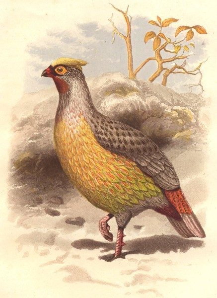 Associate Product GALLINACEOUS BIRDS. Phasianidae. Sanguine Francolin c1870 old antique print