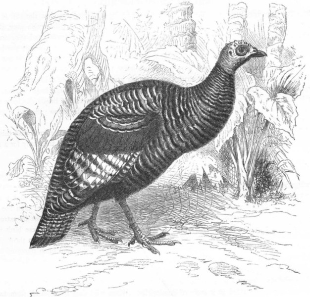 Associate Product GALLINACEOUS TUFTED GUINEA FOWL. Ocellated Turkey c1870 old antique print