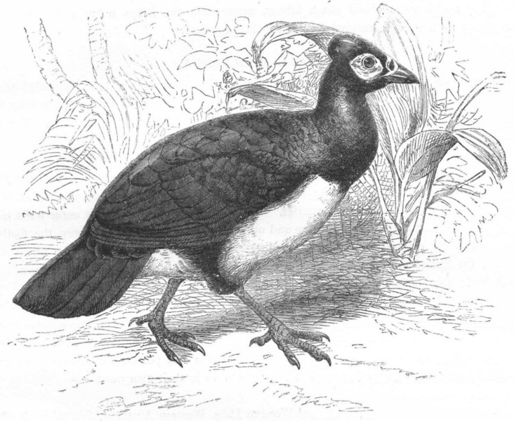 BIRDS. Gallinaceous Bird. Tufted Guinea Fowl. Maleo c1870 old antique print