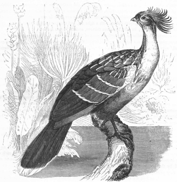 Associate Product GALLINACEOUS CURASSOWS, HOCCOS. Hoactzin, Stink Bird c1870 old antique print