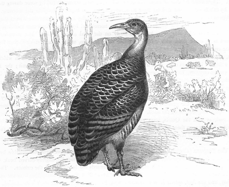Associate Product GALLINACEOUS CURASSOWS, HOCCOS. Inambu c1870 old antique vintage print picture
