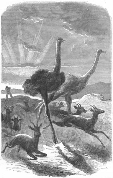 Associate Product BIRDS. Short-Winged Cursorial bird. Ostrich. Hunt c1870 old antique print