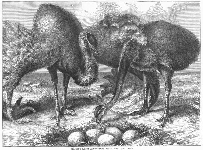 Associate Product SHORT-WINGED CURSORIAL OSTRICH. Nandus, nest eggs c1870 old antique print