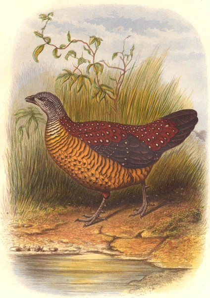 Associate Product BIRDS. Painted Spur Fowl c1870 old antique vintage print picture