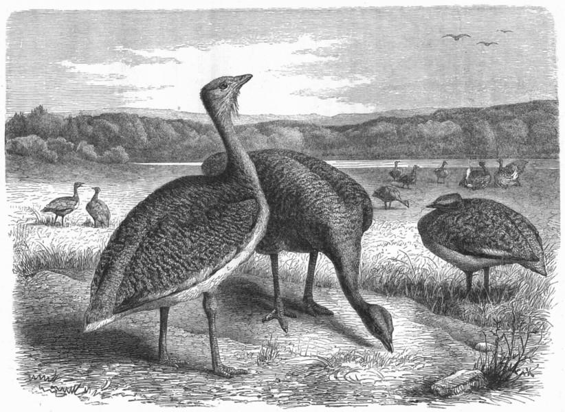 BIRDS. Stilt-Walker. Bustard c1870 old antique vintage print picture