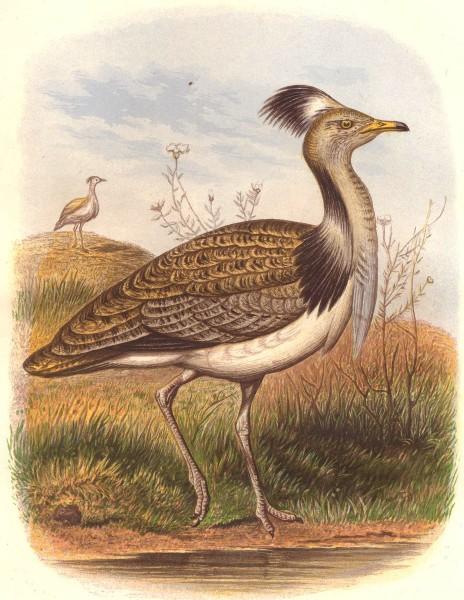 Associate Product BIRDS. Stilt-Walker. Bustard. Houbara 1 quarter c1870 old antique print