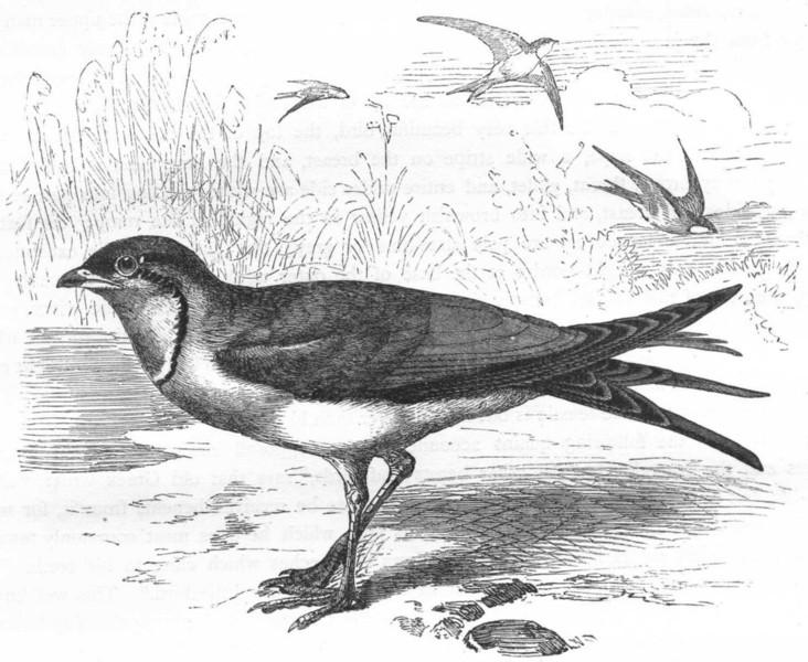 Associate Product BIRDS. Stilt-Walker. Coursers. Collared Pratincole c1870 old antique print