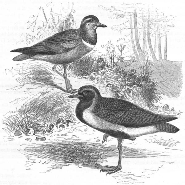 Associate Product BIRDS. Stilt-Walker. Plover. Golden & Dotterel c1870 antique print picture