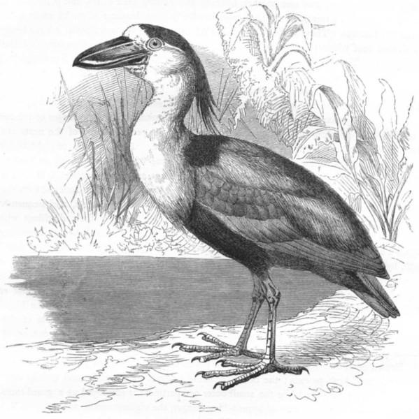 Associate Product BIRDS. Stilt-Walker. Spoonbills. Savaku, Boat-bill c1870 old antique print