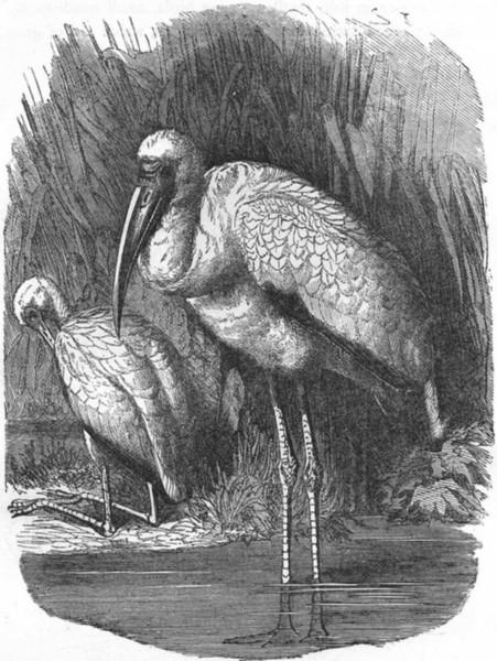 Associate Product BIRDS. Stilt-Walker. Stork. Ibis-like Tantalus c1870 old antique print picture